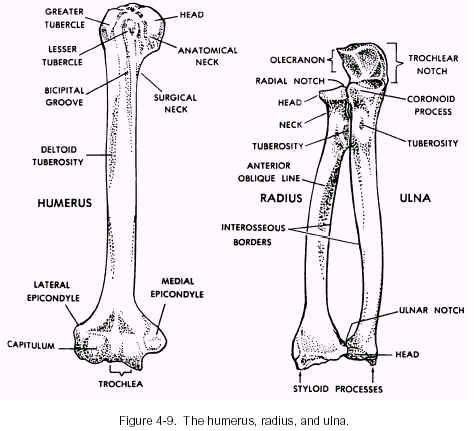 Humerus Radius Ulna Anatomy | rad | Pinterest