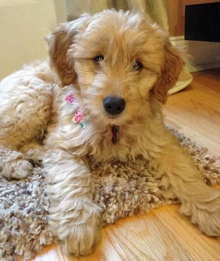 Juno the Goldendoodle Cute puppy names, Goldendoodle