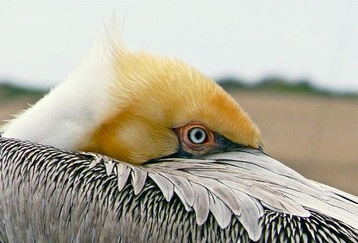 Louisiana's state bird, the brown pelican, gravely ...