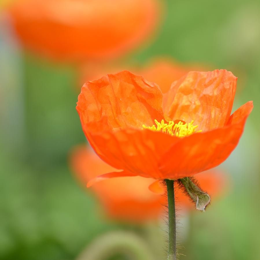 Orange Poppy Palette Pinterest Orange Poppy Flowers And Plants