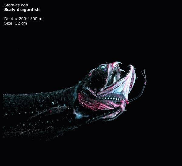 Most Bizarre Animals From Deep Sea Scaly Dragonfish