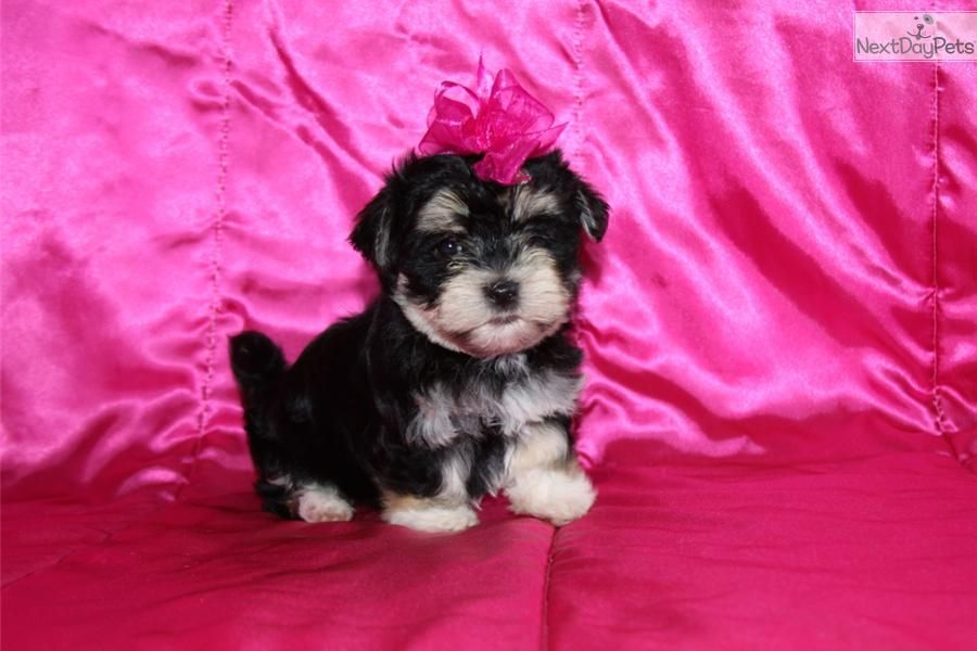 You'll love this Female Morkie / Yorktese puppy looking