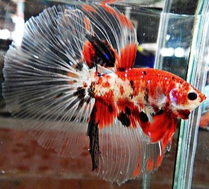 Koi betta fish google search fins pinterest betta for Male koi fish