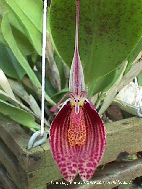 orchidorama.free.fr 1999-juillet-decembre Restrepia%20sanguinea.jpg ...
