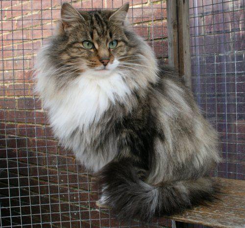 Norwegian forest cat. Norwegian forest cat, Forest cat