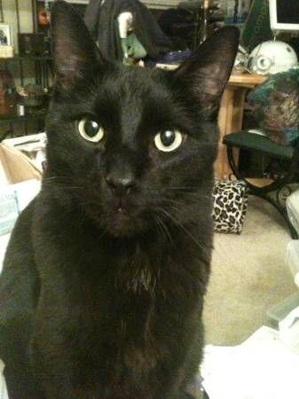Black Neutered Male Cat Animal Hospital Pets Find Pets