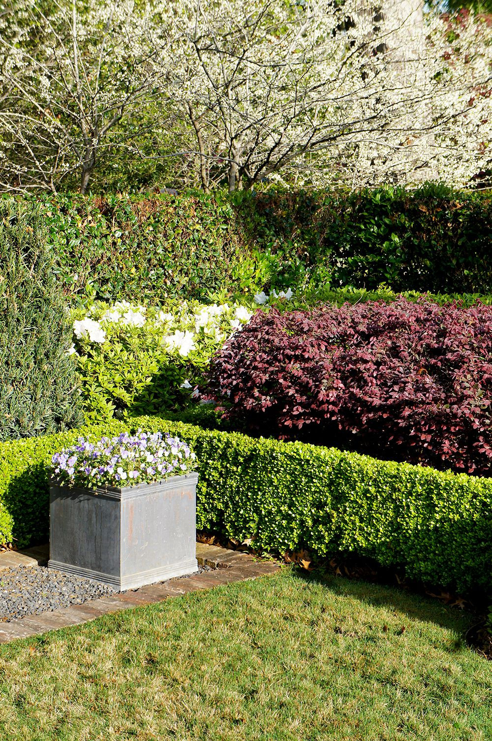 loropetalum hedge sits trimmed