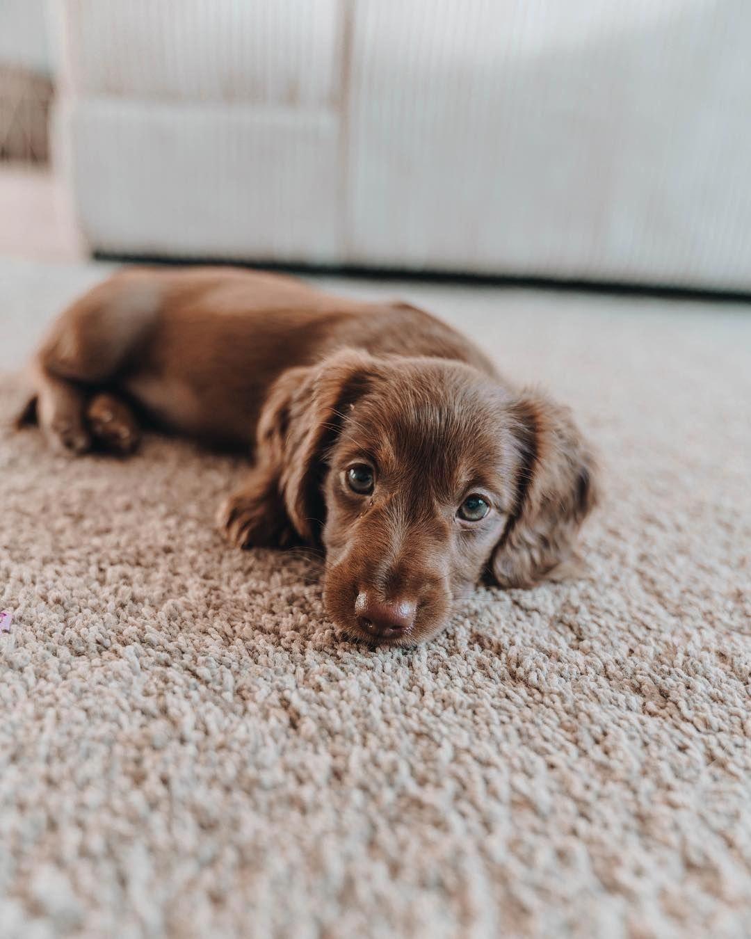 Everything About The Daschund Pup Size daschundlove