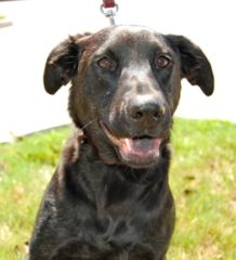 Houston Tx Young Male Lab Mix Please Adopt At Www Scoutshonor Com Dog Adoption Shelter Dogs Labrador Retriever