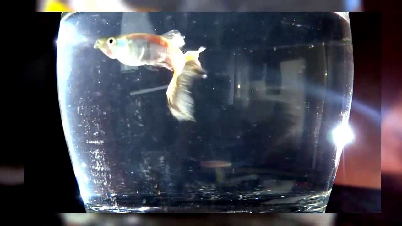 Alaruine Beautiful Guppy Fish Collection Fish Tank Fish Tank Howto Make Design Aquarium Fhd 1080p New 2017 Guppy Fish Tank Wallpaper Best Fishing Rods
