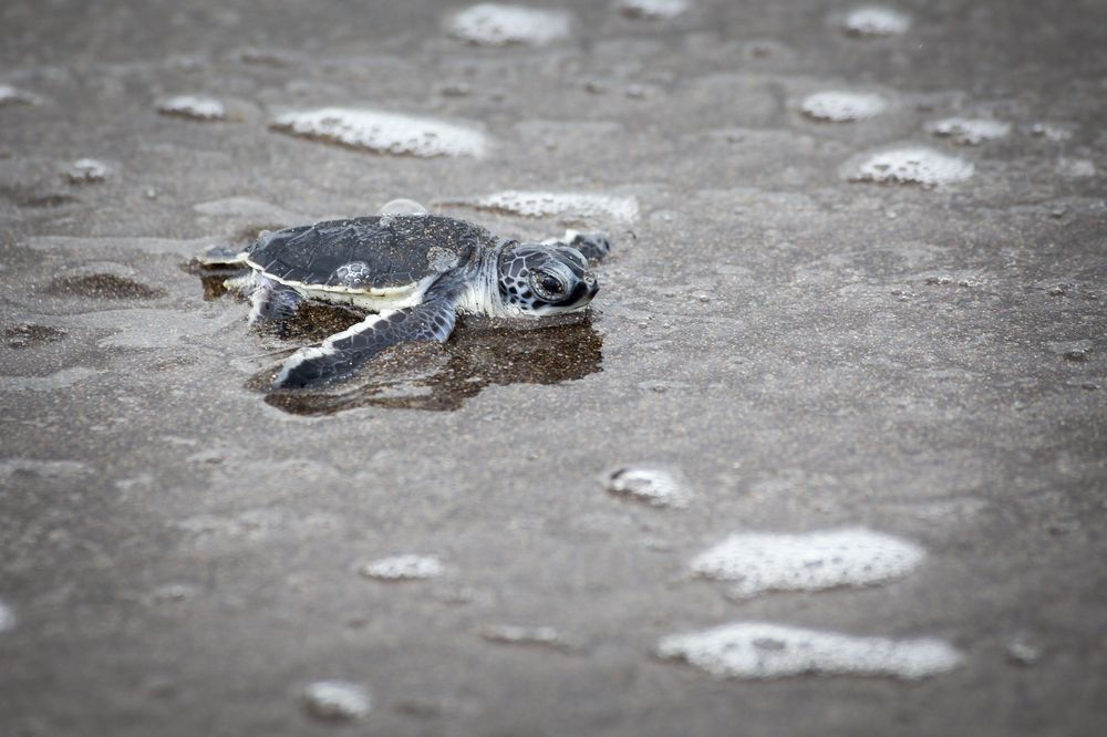 Baby Green Turtle Photo by Dora Korzuchowska — National Geographic Your Shot