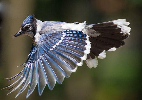 Bluejay by sqrphoto