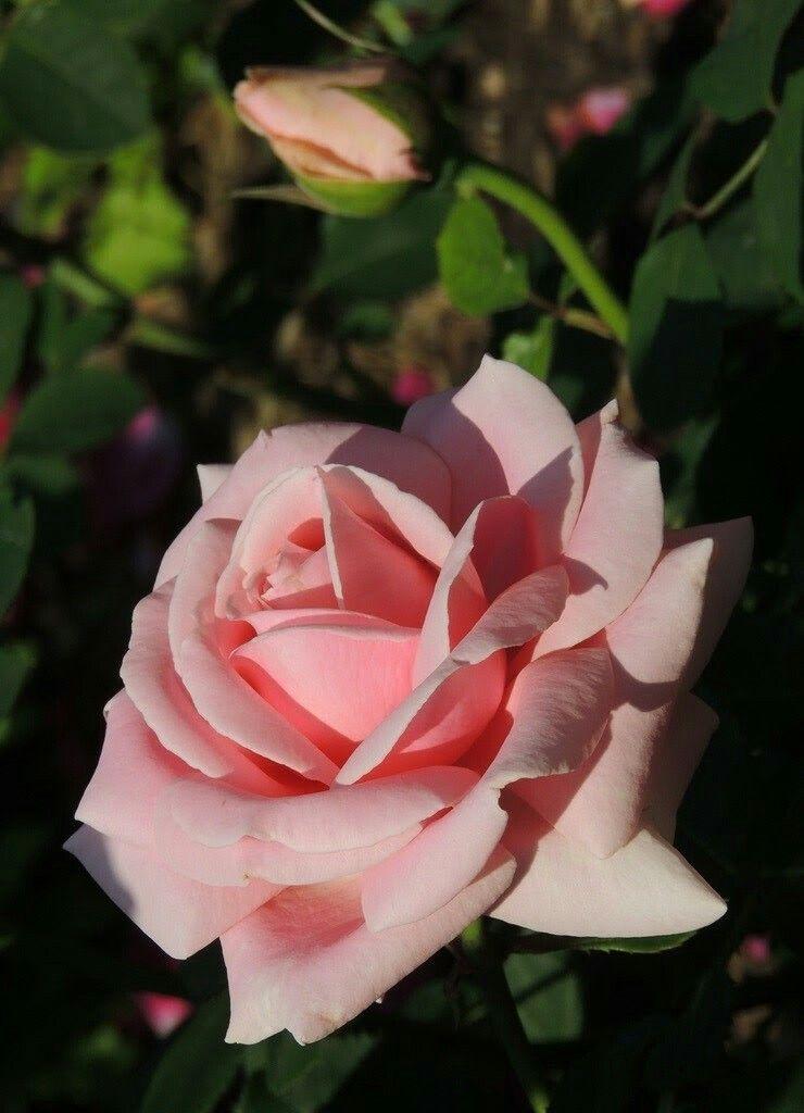 известна своими роза гранд даника фото представителей