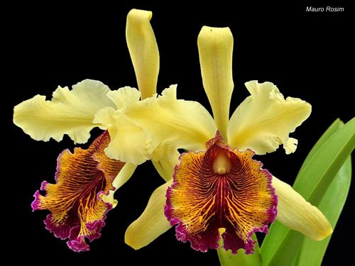 Cattleya Dowiana Var Aurea Orchids Flowers And Plants Pinterest Orchid
