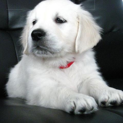 White British English Cream Creme Goldens Golden Retriever Puppy Training Your Dog Dogs Golden Retriever Dogs
