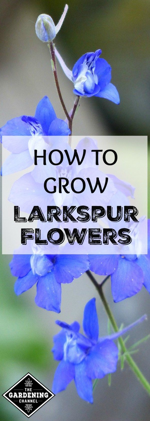 Larkspurs Are Easy Annual Flowers To Grow That Are Tough Hardy And