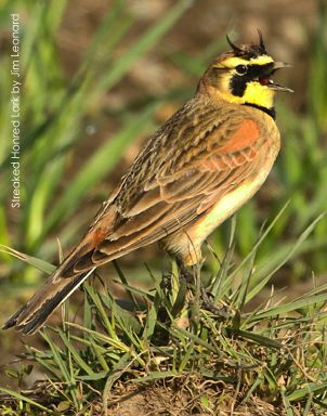 Streaked Horned Lark - Horned Lark - Larks are passerine birds of the family Alaudidae. All species occur in the Old World, and in northern and eastern Australia. Only one, the horned lark, is also found in North America. Habitats vary widely, but many species live in dry regions. SONGBIRD.