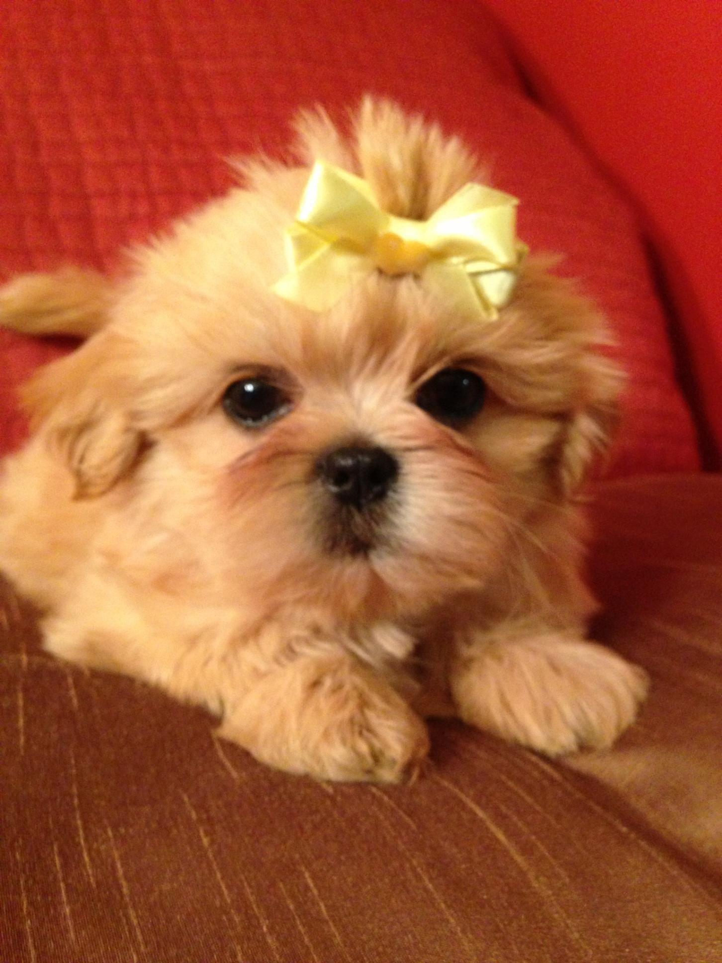 Shihtzu Dogs Omg I Want Shih Tzu Dog Cute Dogs Shih Tzu