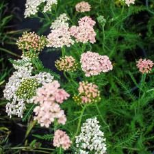 Plants for hot central California valley drought -tolerant