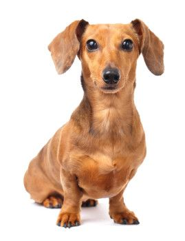 How Common Are Seizures In Dachshunds Dachshund Dog Dog Stock