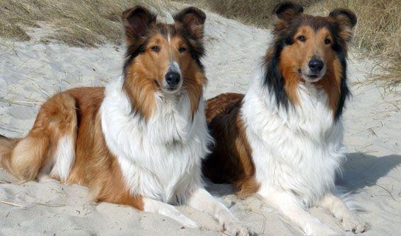 Amerikanischer Collie Hundeschau Com Das Hundemagazin Fur Noch Mehr Freude Am Hund Collie Hunde Tiere