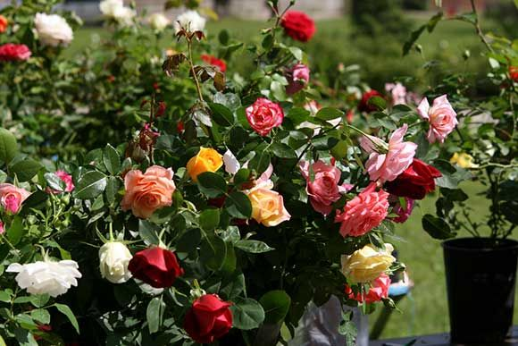 Share The Beauty Of Roses This Spring Flower Garden Growing Roses Spring Garden