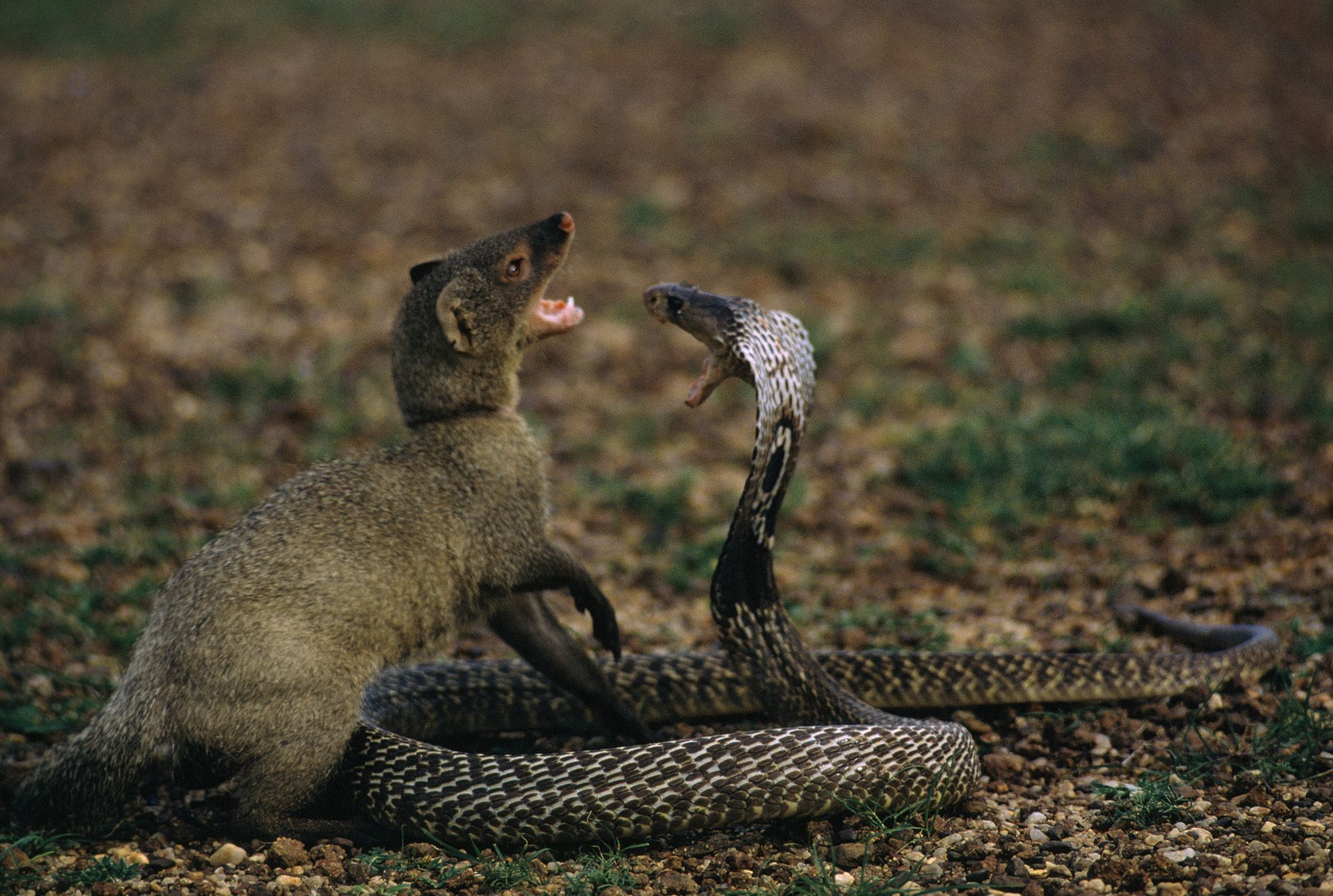 Mongoose Vs Cobra Nat Geo Education Blog Main