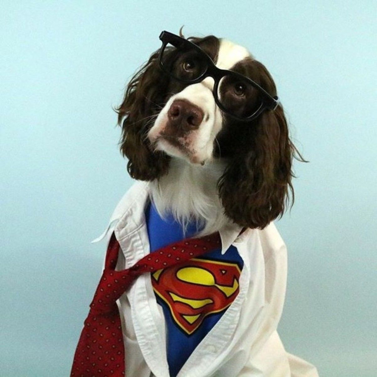 Tj The English Springer Spaniel Is Looking Good On Pack Dog Halloween Costumes Spaniel Breeds Springer Spaniel