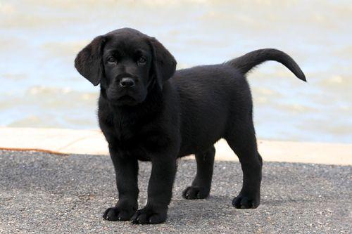 Black Labrador Retriever Photos Banjo 7 Weeks First Day At