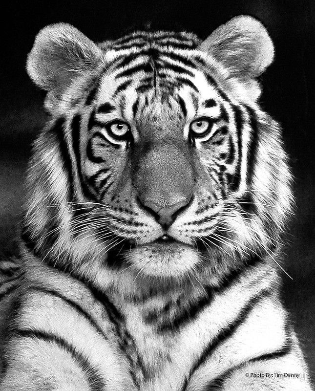 Pin by Tara Graff on tattoos | Tiger pictures, Tiger face ...