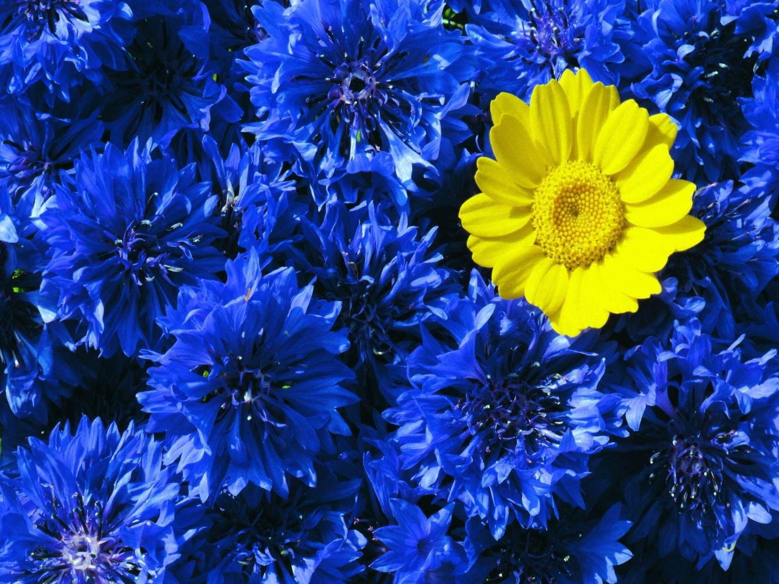 Charming Blue And Yellow Flowers We Heart It Amazing Blue