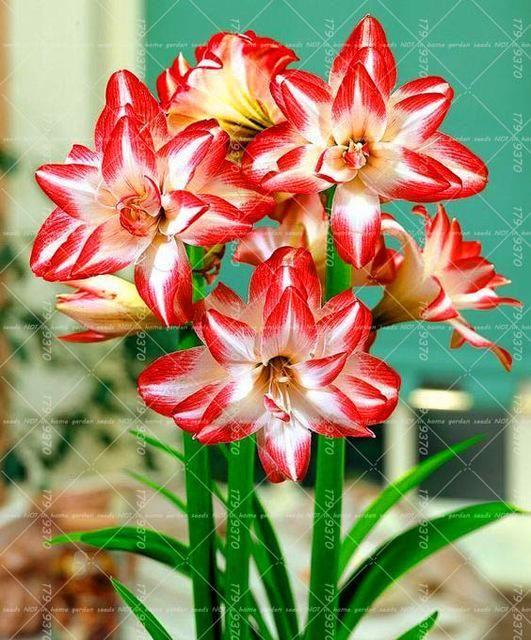 Hippeastrum Bulbs Lily Flower Seeds Bulb Flowers Amaryllis Bulbs