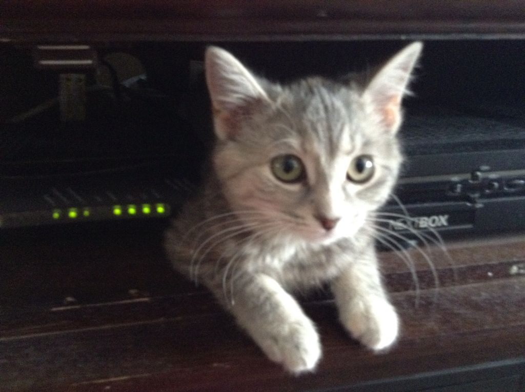 My Adorable Kitten Named Pewter. Best Cat EVER! Always Makes Me And My  Family
