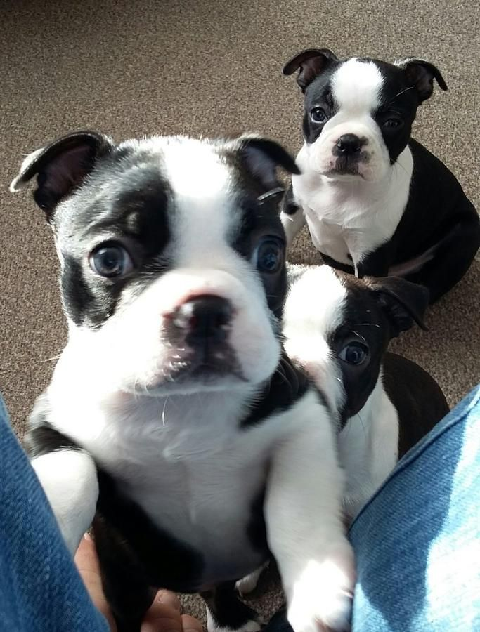 Stunning Litter Of 6 Chunky Black And White Boston Terrier Babies Hc Hsf4 Clear 2 Boys 4 Girls Mum I Boston Terrier Terrier Boston Terrier For Sale