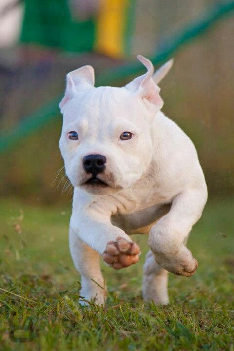 Incoming! White pit bull puppy.