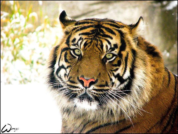 Snow Tiger Habitat | sumatran tiger2 sumatran tiger australia zoo sumatran tiger