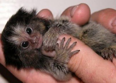"Very Small Monkeys    They are native to rain-forests of Brazil, Peru, Bolivia,  Ecuador and Colom­bia .  Fin­ger mon­keys are, as a mat­ter of fact, pygmy mar­mosets. They are also known by the names ""pocket mon­key"" and ""tiny lion."" This cute lit­tle pri­mate hugs and grips on to your fin­ger so tight that it pulls your heart­strings and you wish you could take it home with you."