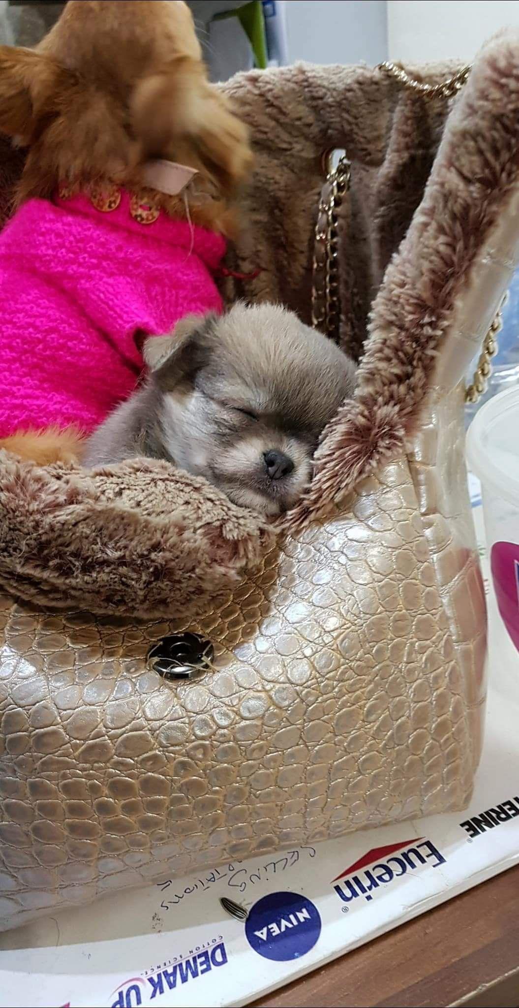 Pin By Joanne Sammut On Chihuahua Daisy Cute Chihuahua Chihuahua Puppy Love