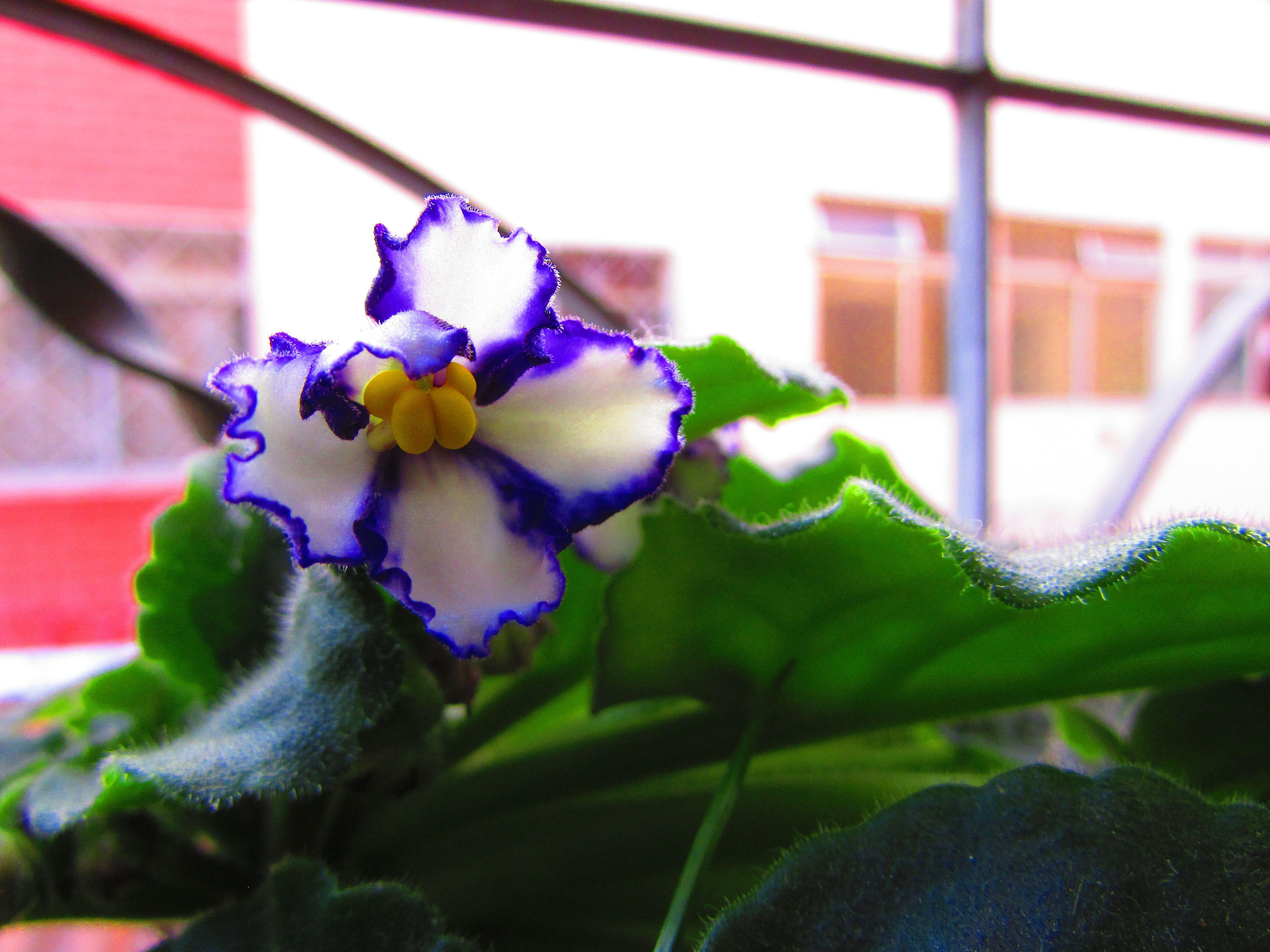 Viola E Um Genero Botanico Pertencente A Familia Violaceae Inclui