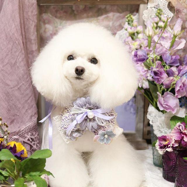 看板犬ホイップ💭男の子ですがよく女の子に間違えられます😅 #groomingtail#グルーミングテイル#groomingsalon#grooming#dogstagram#cutepoodle#cutepoodlesgram#inu#whitepoodle#cutedog#tokyo#hiroo#instagramdogs#doglover#groomer#ドッグサロン#トリミングサロン#東京#広尾#ふわもこ部#ホワイトプードル#多頭飼い#タイニープードル#犬バカ部#わんこなしでは生きていけません会#愛犬#看板犬#寵物美容#貴婦狗#ジェンダーレス