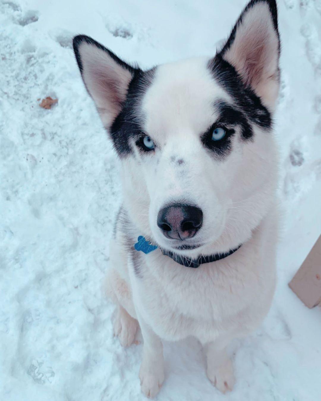 First real snowfall in Iowa!!! snow husky snowdog