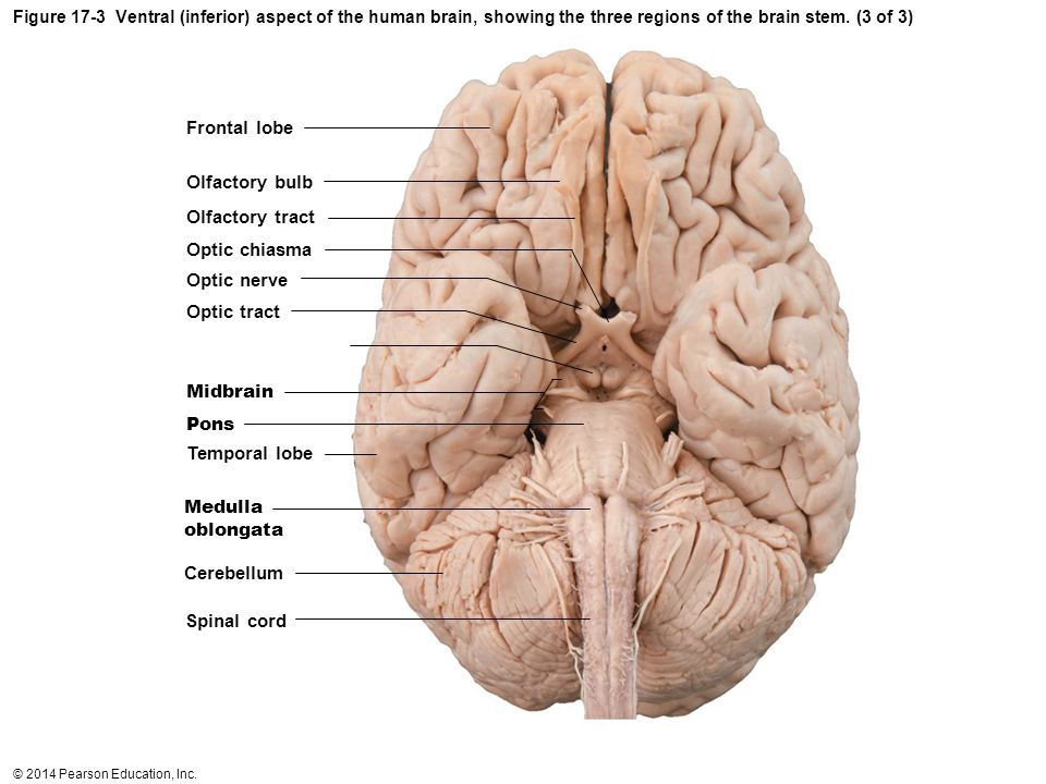 Inferior aspect of human brain showing 3 regions of brain stem inferior aspect of human brain showing 3 regions of brain stem midbrain pons ccuart Gallery