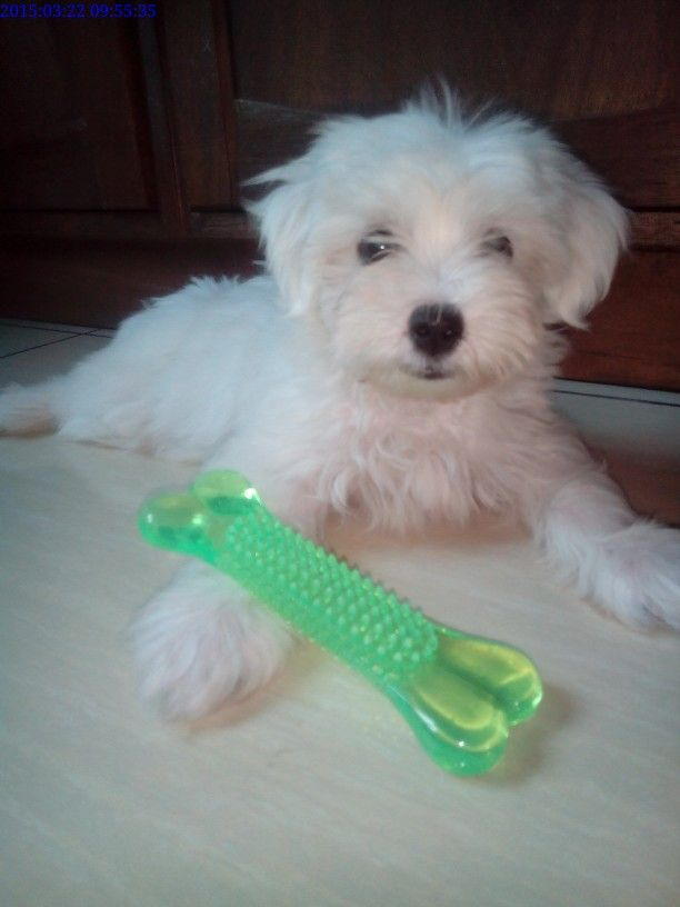 Bunny N His Least Favorite Toy Puppy Breath Kitty Kisses Maltese
