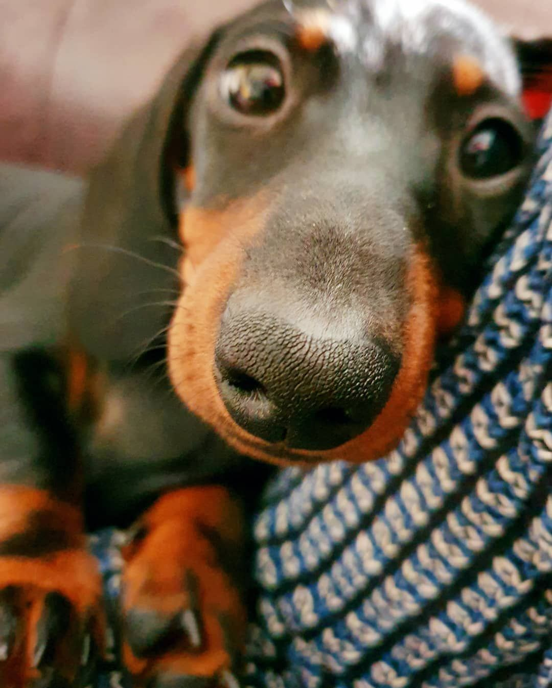Pin By Lynn White On Dogs Doxie Puppies Miniature Puppies