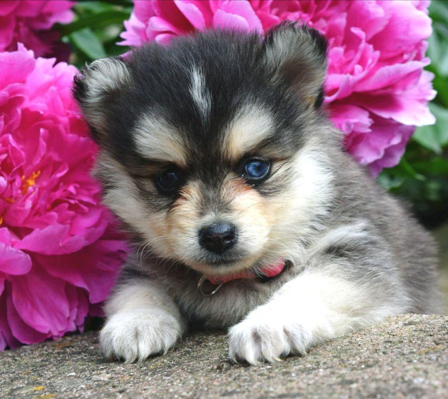 Charming pomsky pomsky puppies puppies lancaster puppies