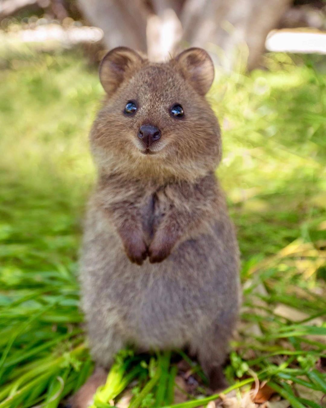 Isn T This The Cutest Thing You Ve Seen On The Internet Today Paws Up If It Is We Quokka N T Handle Just How Cute This In 2020 Cute Animals