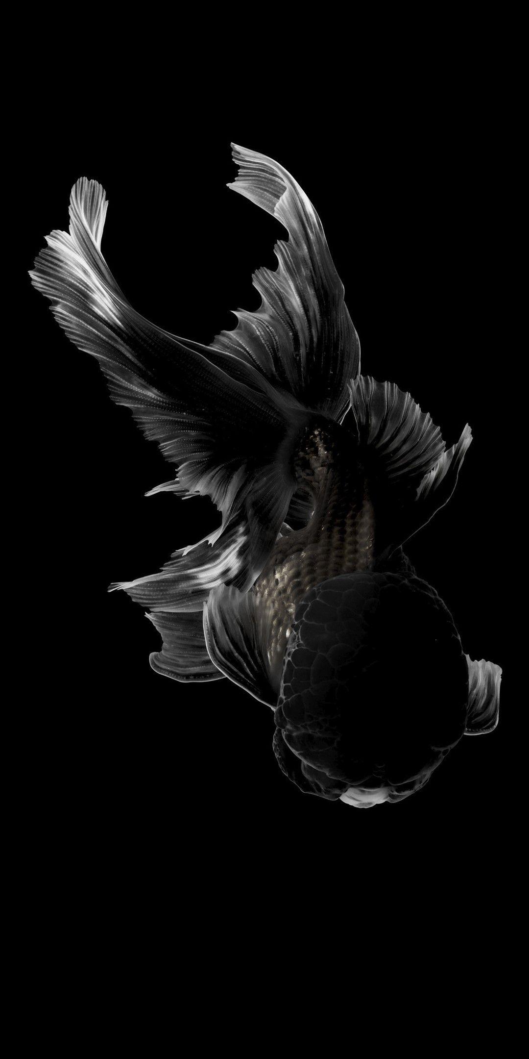 Pin By Iyan Sofyan On Animals Pictures Goldfish Wallpaper Black Goldfish Goldfish