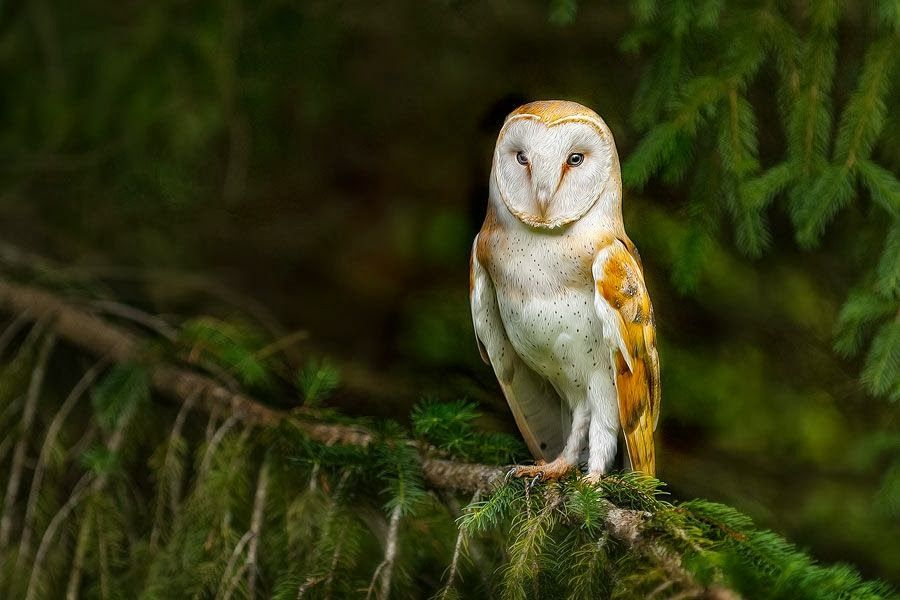 Incredible Pictures of Barn Owls