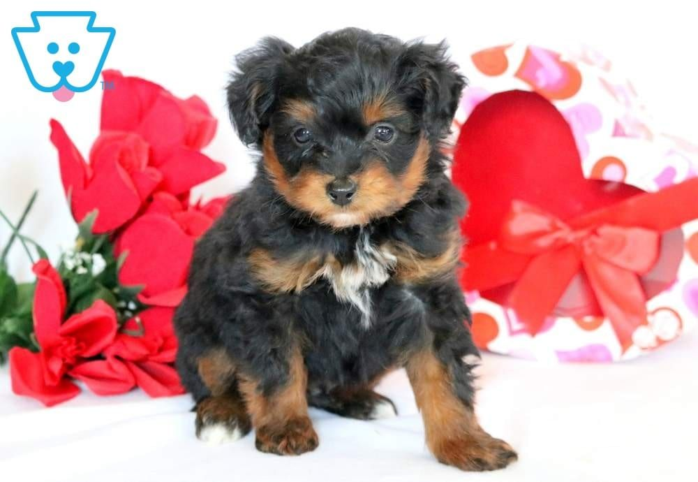 Stanley Mini Puppies Puppies Puppies For Sale