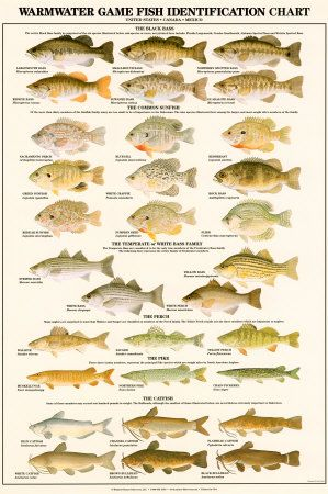 North Fish Species On Of North America Art Print Great